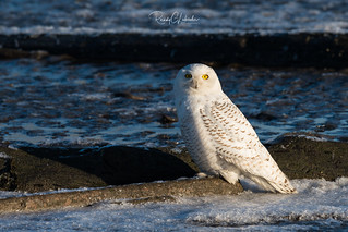Snowy Owls of New Jersey | 2018 - 8