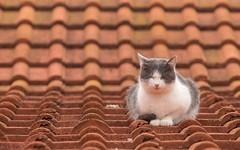 kittens (55) (Vlado Ferenčić) Tags: kitty kittens vladoferencic kittysuperstar vladimirferencic catsdogs cats animals animalplanet roof zagorje hrvatska croatia nikond600 nikkor8020028