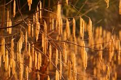 Hazelnut blossoms glow in sunlight (Veitinger) Tags: frühling spring springtime haselnus haselnuss hazelnut blüte blüten blossom blossoms natur nature sonnenlicht sunlight wald forest orange