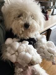 Naïs et la neige (Annelise LE BIAN) Tags: naïs bichonfrisé chien alittlebeauty coth coth5