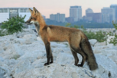 Ancient Fox, Modern City (marylee.agnew) Tags: red fox urban vulpes city nature wildlife outdoor canine modern ancient