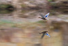 Flight Reflections (jillyspoon) Tags: mallard panning niddgorge femalemallard canon canon70d water river rivernidd creative panned
