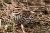 小鵐-2 (Ah-TaiTai) Tags: 台灣 taiwan 高雄 kaohsiung 自然 生態 野生 動物 鳥 飛羽 羽毛 靜態 nikon d5500 natural wild animal bird