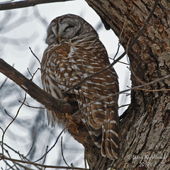 Owl at Rest (larry kapellusch) Tags: owls barred wildlife birds nature wisconsin