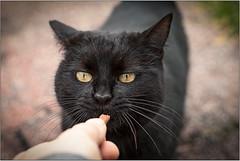 confidence (Pepenera) Tags: gatto gato cat cats