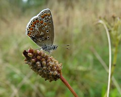 Common blue (rockwolf) Tags: commonblue polyommatusicarus lepidoptera butterfly papillon insect argusbleu wollertonwetlands shropshire rockwolf