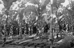 ontario tobacco harvest (cpt. willard) Tags: 1988 canada burford brantford ontario lakeerie tobacco harvest priminggang kiln tablegirls boatdriver summer primingmachine fluecuredtobacco ocanada bunkhouse ontarioyourstodiscover