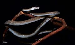 BlackMambaFull (TRAdamson Photography) Tags: snake serpents snakes venomous venom venomoussnakes elapidae elapid elapids mamba blackmamba