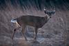 ReducedSize (jmishefske) Tags: wehr buck nature d500 center february milwaukee franklin antler wildlife rack wisconsin 2018 whitetail whitnall nikon deer park
