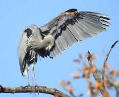 Great Blue Heron #3 (beautyinature4me) Tags: bird avian greatblueheron big gray fisher pagesprings arizona december2016