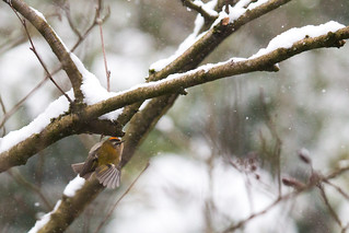 Firecrest in the snow
