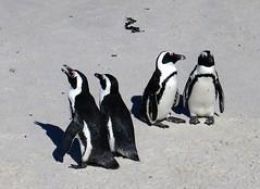 Simons's Town, African penguins on Boulders beach (Sokleine) Tags: penguins pingoins manchots african birds oiseaux nature reserve beach plage sand sable colony colonie péninsule peninsula simonstown boulders capetown lecap southafrica afriquedusud africa afrique quatre four couples