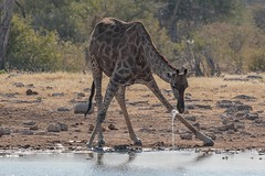 Drinking Problem (gecko47) Tags: giraffe drinking splash watertrail waterhole namibia etoshanationalpark giraffacamelopardis