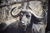 """""""Okay! Maybe Just a Little Smile for the Camera"""" (The Spirit of the World ( On and Off)) Tags: capebuffalo safari gamedrive oxpecker horns trees branches woods woodlands mean smile timbavat southafrica africa wildlife nature privategamereserve bird portraits"""