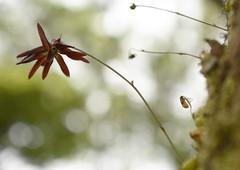 Bulbophyllum fimbriatum (36) (siddarth.machado) Tags: sakleshpurflorakarnatakaorchids bulbophyllum epiphite fimbriate endemic