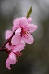 Un brin de Printemps.... pour Véga..... (Callie-02) Tags: plante fleur pastels macro profondeurdechamp bokeh canon rosée couleurs branche arbre extérieur jardin printemps