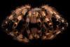 Red Knee Tarantula (Phil Lindley Photography) Tags: brachypelmasmithi redkneetarantula redknee tarantula spider arachnid arthropod tarantulaportrait