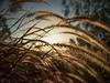 Grass backlit (Petra Ries Images) Tags: grass gras backlight backlit wideangle sun sunset sonne sonnenuntergang gegenlicht bokeh manuallens