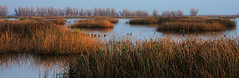 Yolo Marsh (Middle aged Nikonite) Tags: marsh wetland ducks glow reeds aquatic landscape nature outdoor nikon d750 california yolo bypass evening water