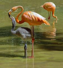 Flamingos in the Zoo (chrisk8800) Tags: animals feeding chick flamingos zoo barcelona birds reflection