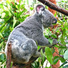 Koala (Colorado Sands) Tags: koala animal sydney newsouthwales australia sandraleidholdt eating feeding tree marsupial phascolarctoscinereus oz