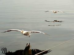 Two pelicans (leo.compan) Tags: bird bigbird pelican namibianbird africa africanbird whitebird namibie namibia