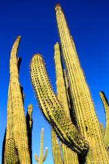 Organ Pipe National Monument (dpsager) Tags: arizona cactus dpsagerphotography organpipecactus organpipecactusnationalmonument