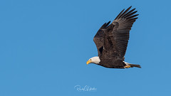 Bald Eagles of the Jersey Shore | 2018 - 7 (RGL_Photography) Tags: americanbaldeagle baldeagle birding birds birdsofprey birdwatching eagle freedom gardenstate godblessamerica haliaeetusleucocephalus jerseyshore monmouthcounty newjersey nikonafs600mmf4gedvr nikond500 raptors symbolofamerica us unitedstates wildlife wildlifephotography bif birdsinflight