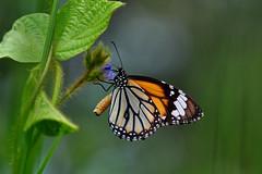 Monarch butterfly (natureloving) Tags: monarch butterfly papillon insect nature macro dof natureloving nikon d90 nikkor105mm animalplanet