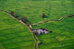 Tranquility (Emu Alim) Tags: thailand chiangmai paddyfield ricefield green field aerial sony a9 landscape pointofview