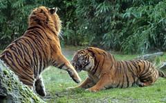 sumatran tiger Alia and Emas Blijdorp BB2A8471 (j.a.kok) Tags: tijger tiger sumatraansetijger sumatrantiger pantheratigrissumatrae kat cat animal asia azie sumatra mammal zoogdier dier predator blijdorp emas alia