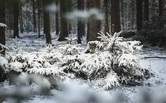 Small Winterwonderland (shetanchan) Tags: 50mmzuiko 50mm forestbeauty wald winterwald zuiko50mm18 zuiko50mmf18 forest winter snow analog analoglens sonya6000 forestlove forestview tree trees firtrees fir