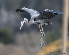 Landing Gear Down (pandatub) Tags: ebparks ebparksok bird birds shadowcliffs heron greatblueheron