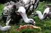 A Feast For Vultures (Ger Bosma) Tags: 2mg252791 rüppellsgier gypsrueppellii rüppellsvulture rüppellsgriffonvulture sperbergeier vautourderüppell buitremoteado buitrederupell vultures eating preadtors meat carrion feasting