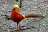 Faisan doré (Passion Animaux & Photos) Tags: spaycificzoo france faisan dore golden pheasant chrysolophus pictus