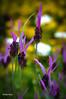 Lavande-papillon (didier95) Tags: lavandepapillon lavande fleur fleurbleue nature été