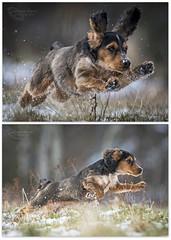 """Snow Jumping!"" (cjpk1) Tags: cocker spaniel jumping snow athletic sport fast super sharp agile"