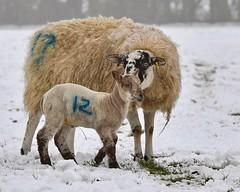 Motherly Advice (sho5572) Tags: schapen flickr uk nikon fleece ewe countryside nature northamptonshire march lambingtime farm snow cold lamb sheep