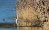 0T4A0414 (2) (Alinbidford) Tags: alancurtis alinbidford brandonmarsh greatwhiteegret wildbirds