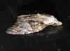 Lumpy bumpy sniffer moth Nola sp Nolidae Airlie Beach P1150023 (Steve & Alison1) Tags: lumpy bumpy sniffer moth nola sp nolidae airlie beach