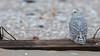 Snowy Owls of New Jersey | 2017 - 30 (RGL_Photography) Tags: birding birds birdsofprey birdwatching buboscandiacus gardenstate jerseyshore monmouthcounty mothernature nature newjersey nikonafs600mmf4gedvr nikond500 ornithology owls raptors snowyowl us unitedstates wildlife wildlifephotography beachowl