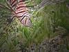 Lionfish (Jwaan) Tags: lionfish feathers spikes stripes brown white red green turtlegrass underwater caribbean bvi britishvirginislands westindies