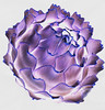 color my vegetables - purple (charlottes flowers) Tags: slidersunday artichoke photophun