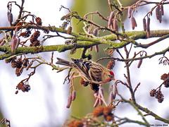 Mealy Redpoll (Corine Bliek) Tags: bird birds vogel vogels natuur nature wildlife elzen wintergasten winter trekvogels migratory