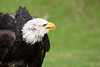 adler (insektivor212) Tags: adler raubvogel schnabel seeadler weiskopfseeadler weisskopfseeadler auge burg falkner falknerei feder federn greif greifvögel tier vogel