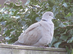 Wednesday, 17th, Collared dove IMG_1948 (tomylees) Tags: essex morning winter january 2018 17th wednesday garden collareddove fence