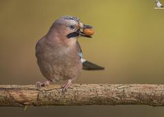 "Acorn Time ! (Mick Erwin) Tags: acorn nikon afs 600mm f4e fl ed vr lens d850 ""mick erwin"" stoke trent staffordshire wildlife nature ""nikon d850"" jays eurasianjay jaybird eurasian jay garrulus glandarius corvid"