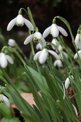 Snowdrops (daveandlyn1) Tags: flowers snowdrops garden latewinterearlyspringflower iii f3556 efs1855mm 1200d eos canon foliage greenerie dslr