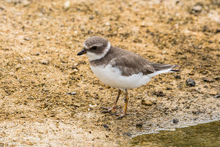 Semipalmated Plover 500_4723.jpg