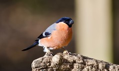 Bullfinch (Male) - Taken at Summer Leys Nature Reserve, Wollaston, Upper Nene Valley, Northants, UK (Ian J Hicks) Tags: